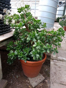 Jade plant for sale.