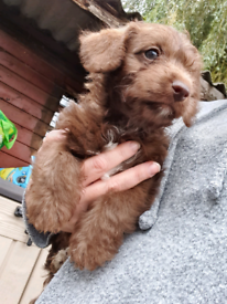 3 LEFT Chocolate Jackapoo puppies 🍫 jack russell x poodle