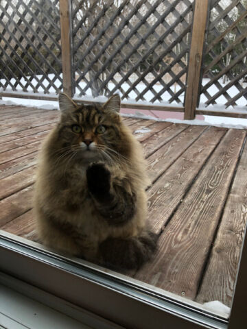 Chatte A Donner Chats Et Chatons A Adopter Ouest De L Ile Kijiji