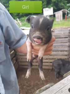 One Mini piglet left  for sale