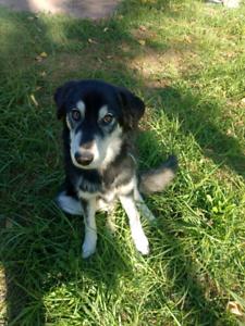 Husky X puppy for sale | Dogs & Puppies | Gumtree Australia