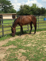 HANDSOME Standardbred Gelding