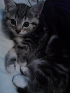 TABBY KITTENS LOOKING FOR LOVING HOMES / WILL DELIVER