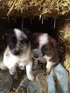 Working cow dogs for sale