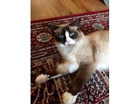 Pure bred Blue-Point Rag-doll Kittens for sale