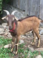 Young Male Buck Dairy Goats for sale