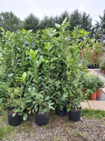 Laurel large hedging