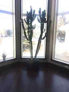 Cactus with pot, 8ft tall