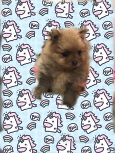 New born female Pomeranian for sale/rehoming
