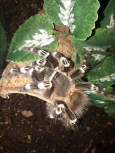 Tarantula for sale