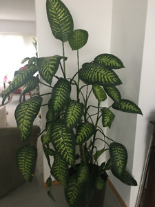 DIEFFENBACHIA HOUSE PLANTS 6 FT. TALL