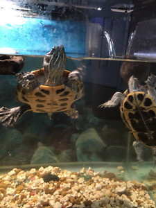 Red slider turtles