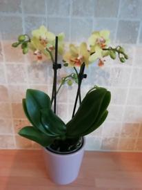 Mini orchid in a pot