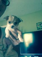 Maltese x Chihuahua and chorkies 705-716-7546