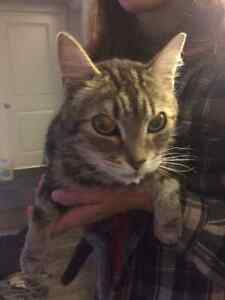 Female Cat Found Strathcona County Edmonton Area image 2