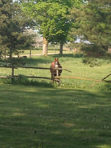 Horse Boarding - Baden Kitchener / Waterloo Kitchener Area image 3