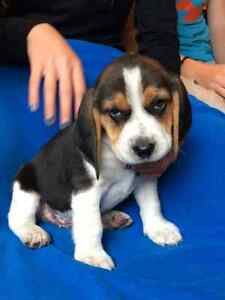 Beagle Puppies!!  ONLY ONE MALE LEFT!!
