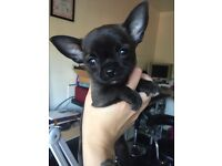 Stunning dark sable pedigree chihuahua puppy