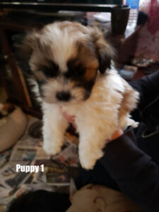 Shihtzu Bichon cross puppies
