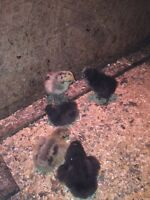 CHICKS FOR SALE!!!