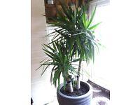 8 foot Yucca plant
