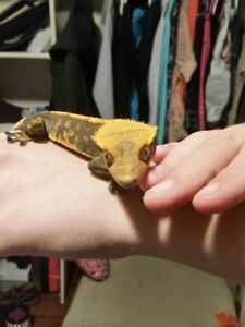 Crested Gecko - Male