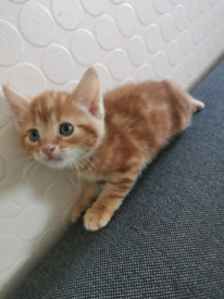 2 ginger male 8 weeks £250 each or £480 both
