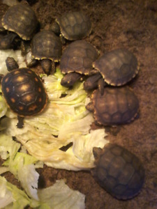Yellow foot & red foot tortoise