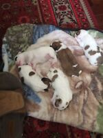 Small puppies for sale