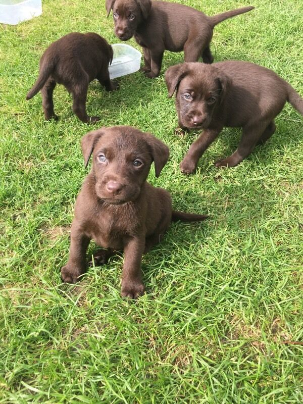 Gumtree Perth Dogs And Puppies