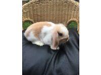 Mini lop boy for sale