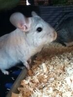 Wanted Couple Of Chinchillas