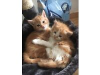 Cute male kittens