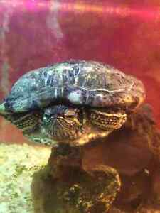 Looking for home for my Red Eared Slider Kitchener / Waterloo Kitchener Area image 3