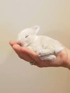 Adorable Baby Netherland Dwarf Bunnies