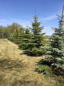 12 foot blue spruce trees delivered and planted