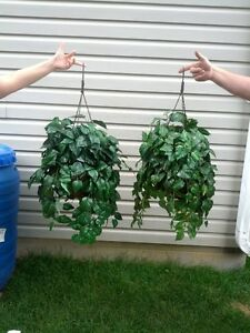 2 hanging plants Kitchener / Waterloo Kitchener Area image 1