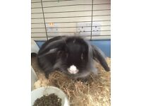Lop eared Rabbit for sale with cage