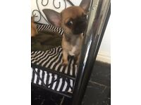 Gorgeous tan and black pedigree chihuahua puppy