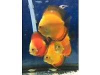 Discus for sale size 5/6inch adults
