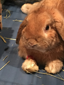 Neutered Lop Bunny