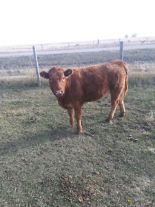 Young heifer for sale.