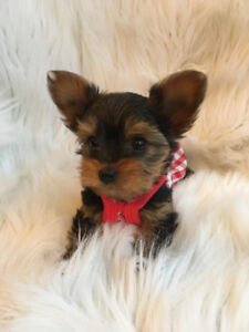 Teacup Yorkshire Terrier Puppies Ready!