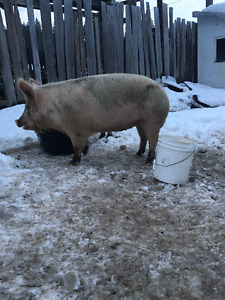 Two pigs For Sale 1 female, 1 male