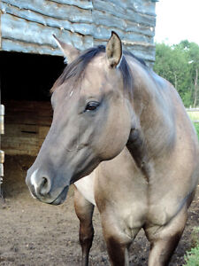 *Price Reduced* Gorgeous 4 yr old AQHA Mare
