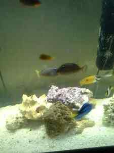 blue throat triggers, male and female, approx 4 or 5 inches
