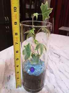 Ivy air purifying house plant in clear glass pot