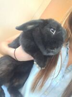 Black bunny for sale