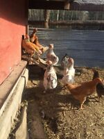 FREE SPRING ROOSTERS