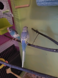 Young Budgies